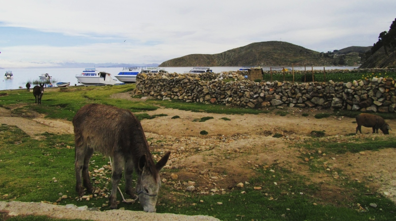 Cuidar-respetar-animales-isla-del-sol-Bolivia-Katy-Food-and-Travels-Blog-Viajes-Alimentos